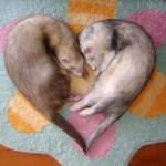 ferret love photo
